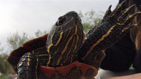 Sk Turtle turtle could take title saskatchewan specimen could be largest of its species ctv saskatoon news