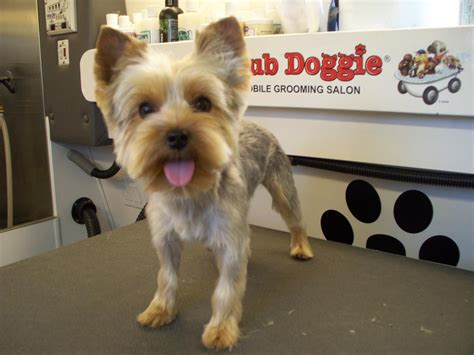 how to groom a yorkie puppy cut club doggie mobile grooming salon before and after photo gallery