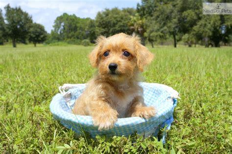 puppies for sale bradenton fl ruby cavapoo puppy for sale near sarasota bradenton florida a97a0b26 a571