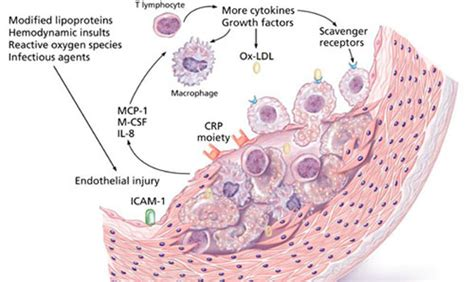 c protein cardiac healthy geezer c reactive protein cardiac outdoors