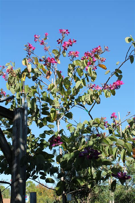 orchid tree buy  miami ft lauderdale kendall