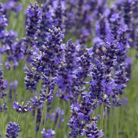 Garten Lavendel Pflanzen by Lavendel Pflanzen Pflege Und Tipps Mein Sch 246 Ner Garten