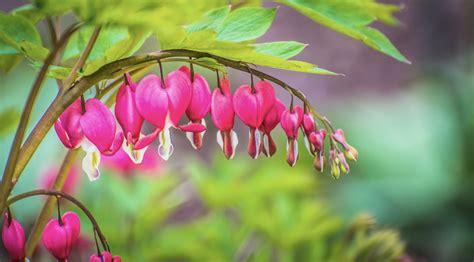 Bleeding Heart Flower Meaning Www Pixshark Com Images Bleeding Meaning