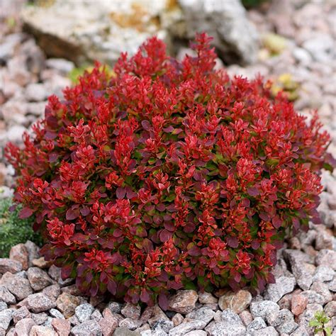 buy barberry berberis thunbergii lutin rouge pbr