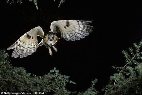 Barn Owl Noise Secret Of Owls Silent Flight Revealed Scientists Uncover