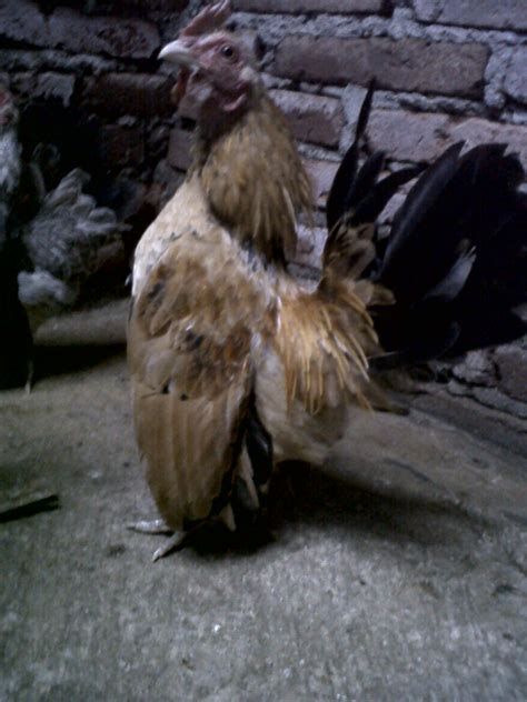Ayam Pelung Murah di jual serama harga murah ternak ayam kung dan ayam