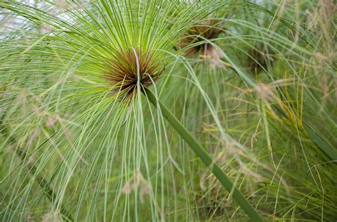 Indoors Garden by Cyperus Papyrus 1l Evergreens Turn It Tropical