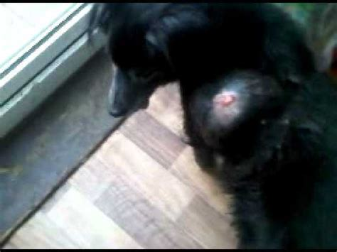boils on dogs disgusting abscess abcess boil tumor cyst on that its with