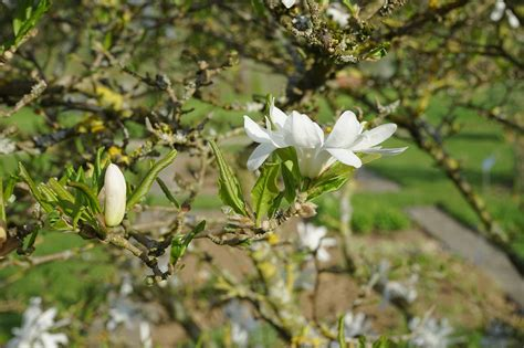 how to grow magnolia stellata or star magnolia trees and shrubs forgardening