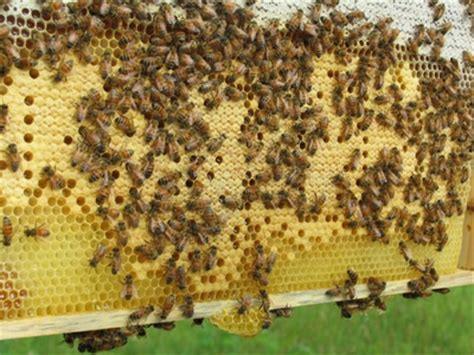 the inside buzz on the arbor backyard beekeepers