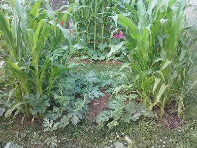 growing corn in backyard adventures of a thrifty mama on a city stead back in the