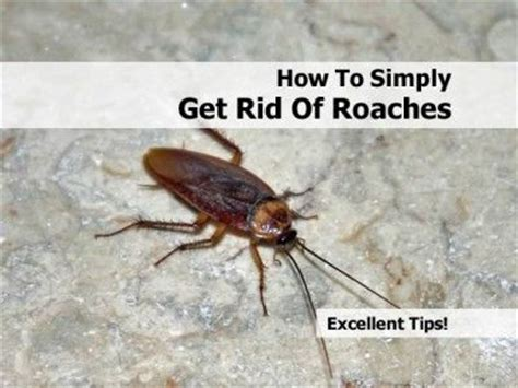 how to kill small cockroaches in kitchen 1000 images about get rid of roaches on