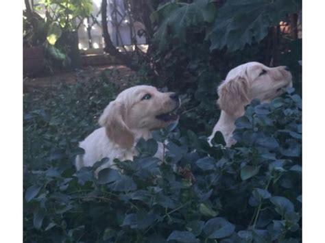 kusa golden retriever puppies sale golden retriever puppies for sale bloemfontein puppies for sale
