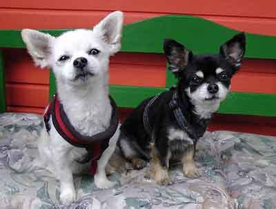 Do Chihuahua Shed by Chihuahua Shedding How To Stay On Top Of It And Recognize