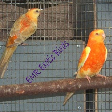 birds for sale san diego male red rump parakeet rumped parakeet 109621 for sale in san diego ca