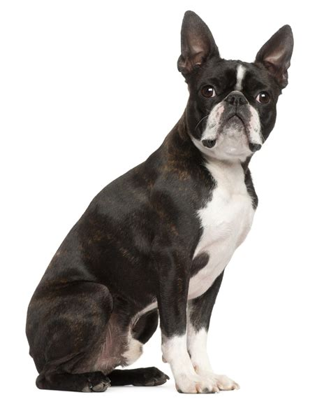 boston terrier cross pug meet the buggs a cross between boston terriers and pugs