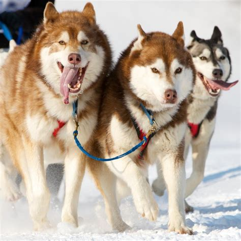 alaskan husky unimaginably stupefying facts about the alaskan husky
