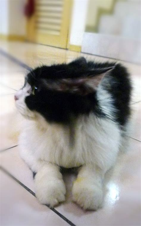 white fluffy breeds cat breeds black and white cats types
