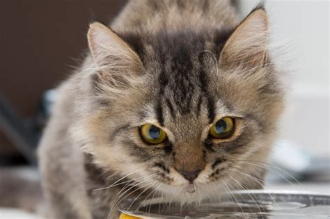 how to tell if a puppy is dehydrated how to tell if your cat is dehydrated pets4homes