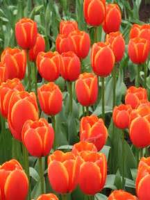 Dutch Masters Flowers - dutch tulips by charles ridgway