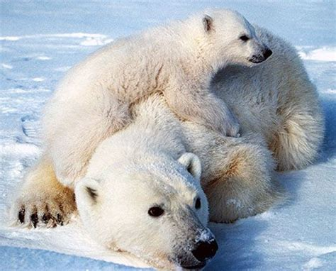 Two Polar Bears In A Bathtub by Starving Polar Bears Turning To Cannibalism Treehugger