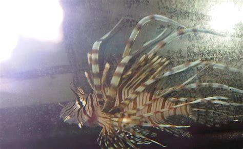 machos adultos pueden llegar hasta los 7 metros de largo y poseer mas buce ando el pez le 243 n el nuevo quot rey quot del mar