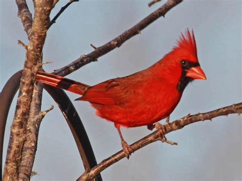 birds of the world cardinals