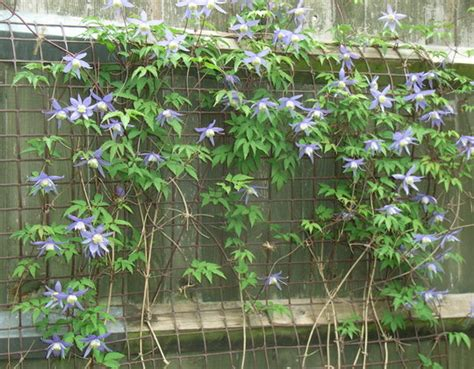 clematis alpina frances rivis 3210 clematis alpina frances rivis 2010 grows on you