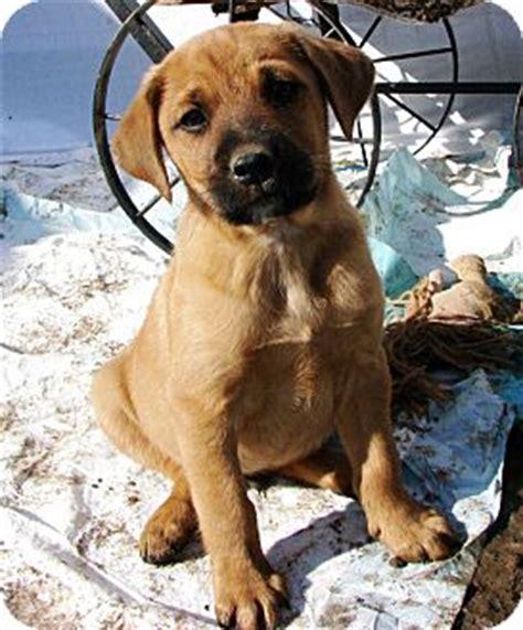 shepherd hound mix puppies bueford adopted puppy 57974 huntsville tn basset hound shepherd unknown type