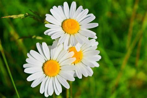 imagenes jpg flores tipos de flores margaritas im 225 genes y fotos