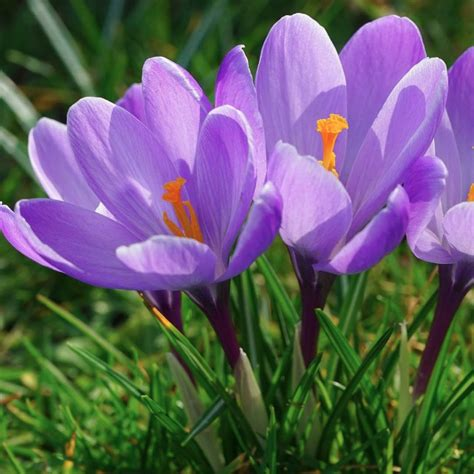 crocus sativus saffron crocus corms
