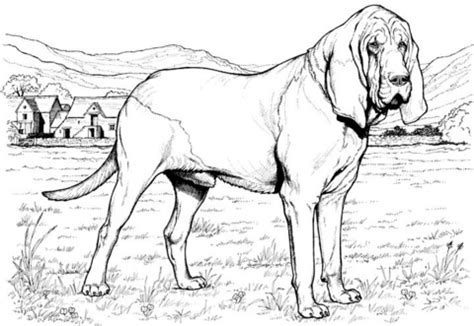 Coloring Pages Of Bloodhounds | bloodhound dog coloring page supercoloring com