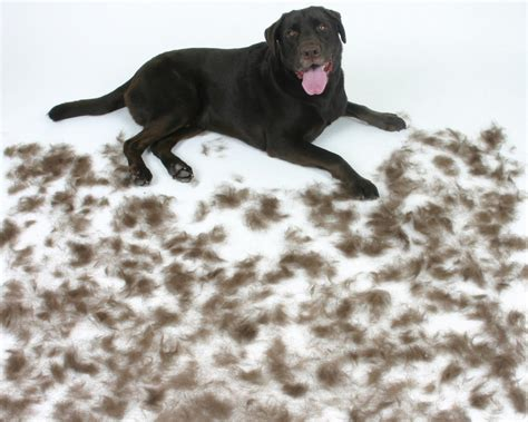 shedding tips for a cleaner house dogs information