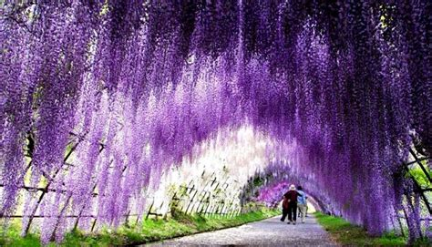 flower tunnel the wisteria flower tunnel at kawachi fuji garden japan
