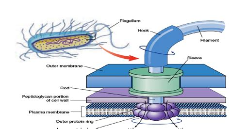diagram of flagella structure working of bacterial flagella
