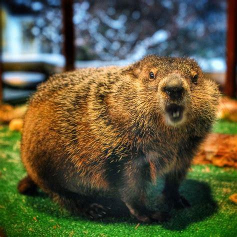 groundhog day like staten island chuck makes it through groundhog day alive