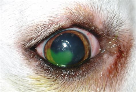 ulcers in dogs corneal ulcers broad ripple animal clinic