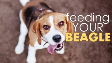 what do you feed a puppy how much food to feed a beagle foodfash co