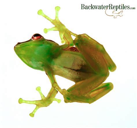 top   pet frogs