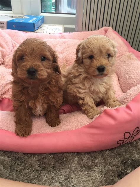 pooton puppies for sale cotonpoo pooton grimsby lincolnshire pets4homes