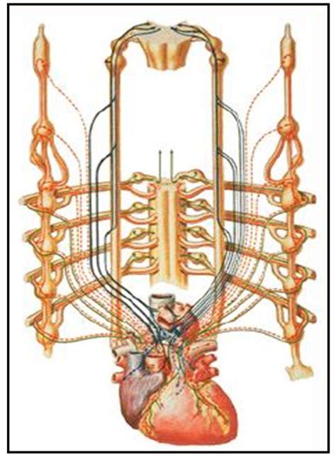 cadena ganglionar simpatica cervical cardiorespiratoriouq inervaci 243 n del coraz 243 n por yobani