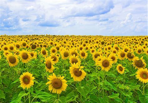 girasoles moldes de flores para hacer arreglos florales en girasoles moldes de flores para hacer arreglos florales en