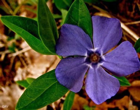 purple vine flower photograph by debra vatalaro