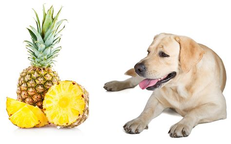 can puppies eat pineapple can dogs eat pineapple and does pineapple stop dogs