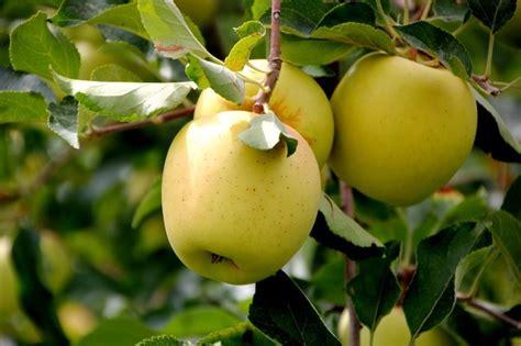 Bibit Buah Kiwi Golden melo variet 224 frutteto tipi di melo