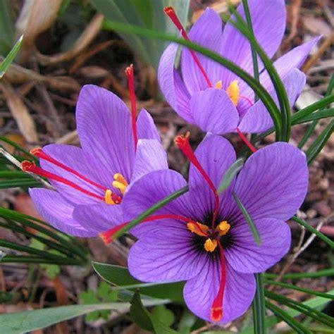 saffron crocus sativus bulbs buy saffron crocus bulbs in