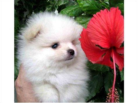 pomeranian puppies for sale in ireland pomeranian puppies for sale adoption from dublin city dublin adpost