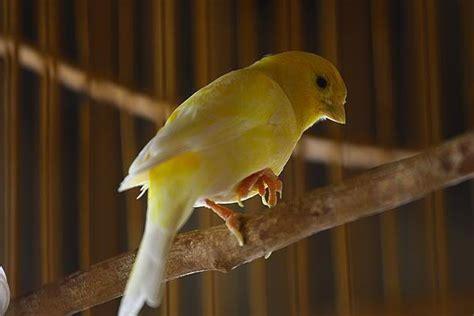 Mengatasi Masalah Penangkaran Kenari H972 bengkak pada pembuluh darah di kaki burung ini cara