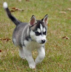 husky puppies for sale in houston amarillo and sweet siberian husky puppies for free adoption