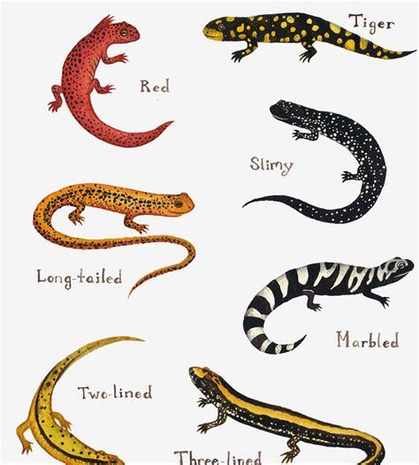 Kitchen Furniture Atlanta Salamanders Field Guide Art Print Features Animal Kate